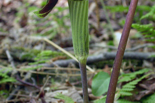 Door to Nature: Plants in the Arum Family
