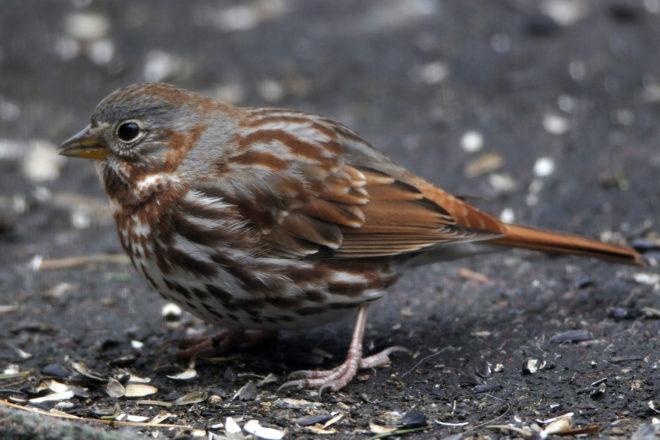 Door to Nature: Fox Sparrows