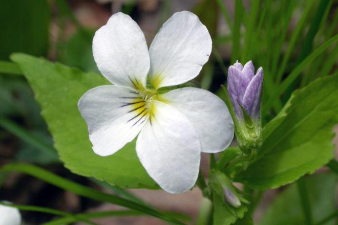 Door to Nature: Violets of Door County