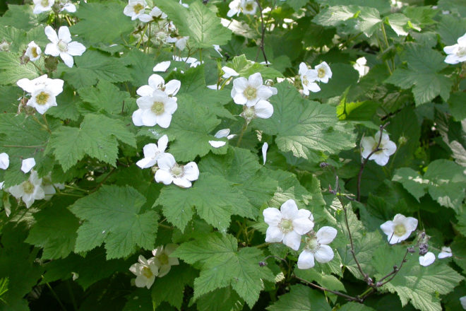 Door to Nature: Thimbleberry Flowers and Fruit