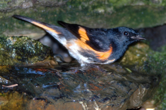 Door to Nature: Is That an Oriole or a Redstart?