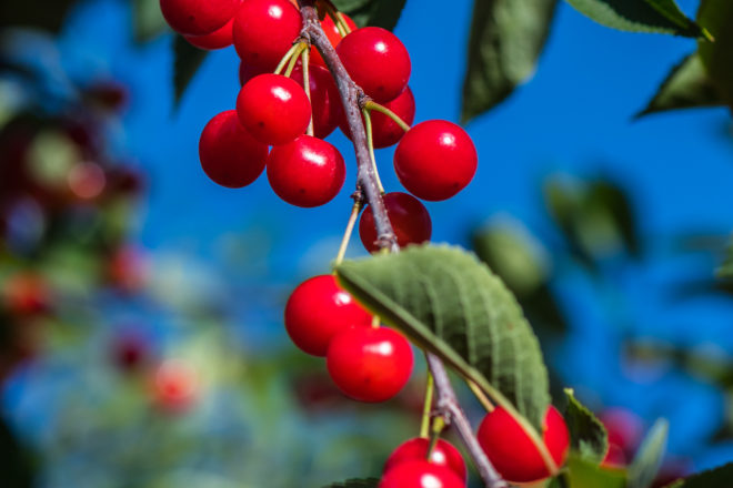 By the Numbers: Cherries