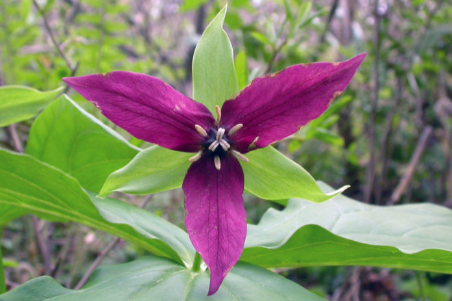 Trilliums Of The Eastern United States Door County Pulse