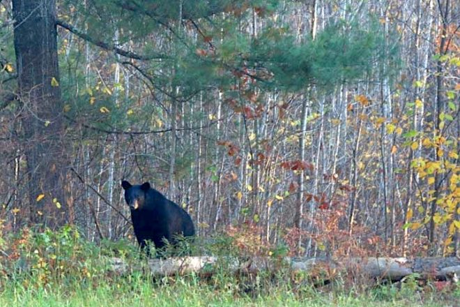 Black-Bear Hunt Largely an 'Up North' Experience