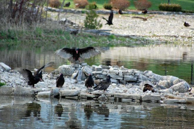 Framed: Turkey Vultures