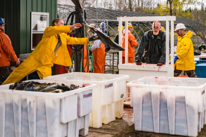 Up Strawberry Creek: Salmon Run Feeds Those in Need, Sustains Sportfishing