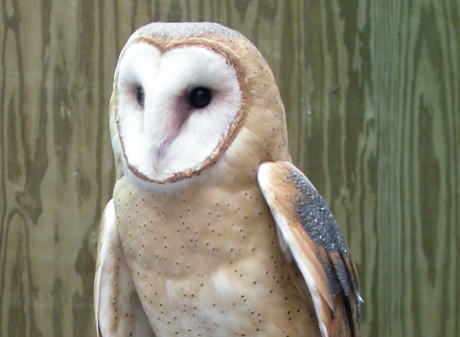 Door To Nature Barred Owls And Barn Owls Door County Pulse