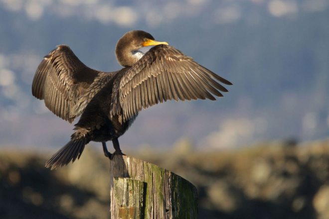 Anglers Want Action on Double-Crested Cormorants