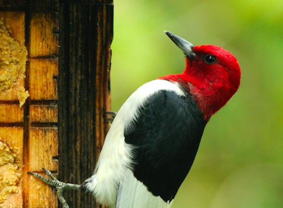 Door to Nature: Woodpeckers of Door County
