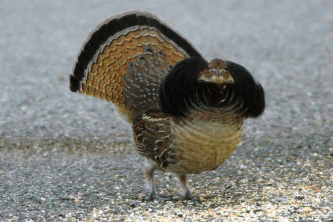 Door to Nature: Ruffed Grouse