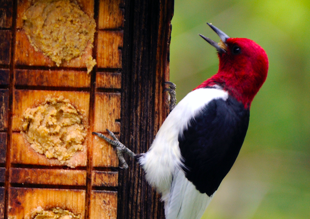 Door to Nature: The Flashy Red-headed Woodpecker