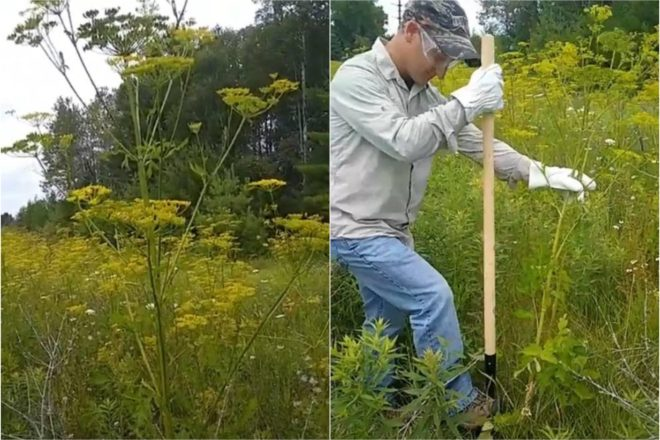 The Status of Wild Parsnip on State Highways