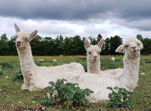 Framed: Friendly Alpacas