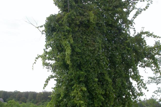 Door to Nature: Wild Grape: Kudzu of the North