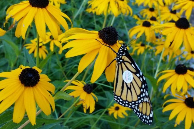 Fall Flowers Help Fuel Monarch Migrations