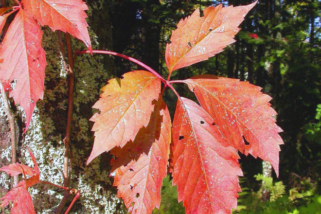 Door to Nature: Autumn Color and the Virginia Creeper