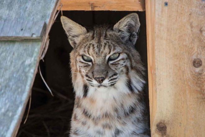 Farewell, Baxter the Bobcat