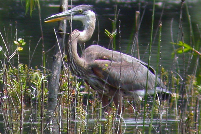 Door to Nature: The Great Blue Heron