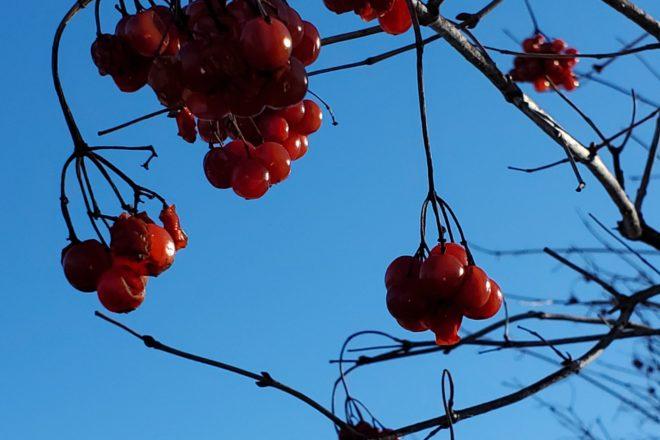 Wild Ones: Native Berries Attract Winter Wildlife