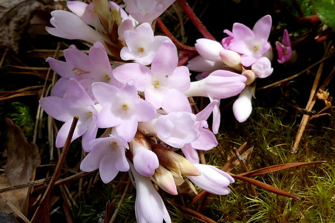 Door to Nature: Early-Blooming Trailing Arbutus