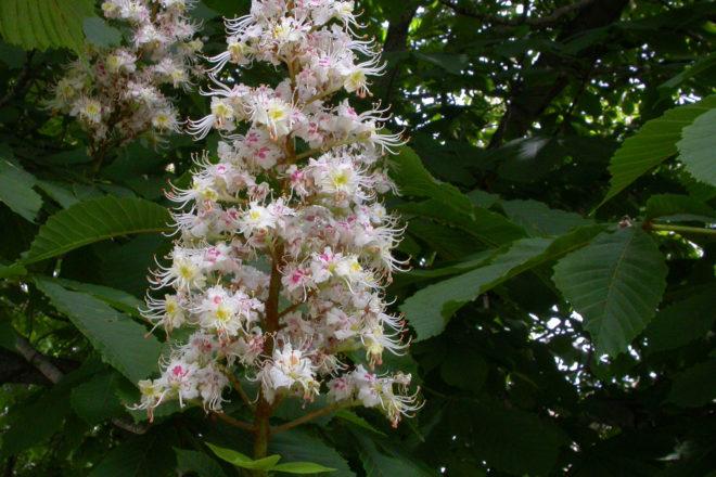 Door to Nature: Horse Chestnut Trees