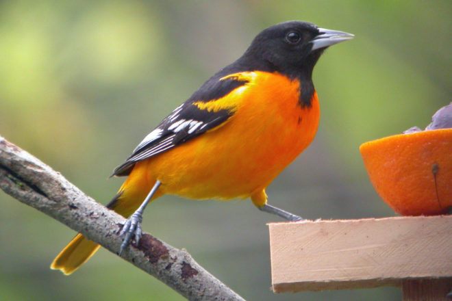 Door to Nature: Molting Stress on Birds