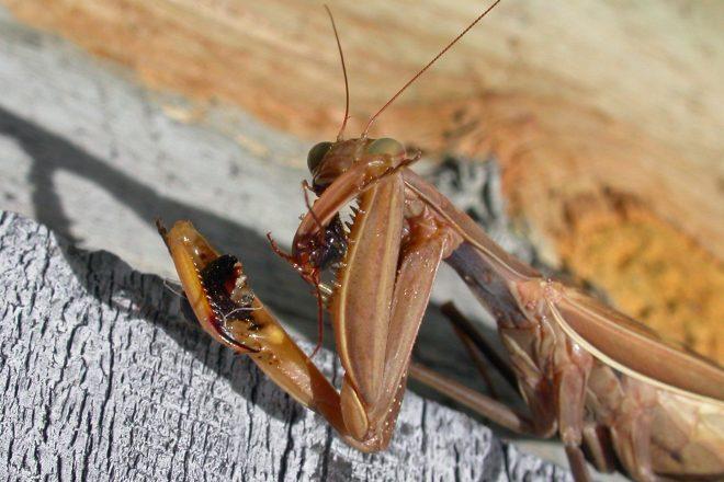 Door to Nature: The Praying Mantis
